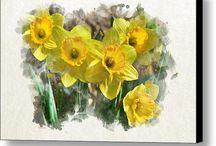 Z Daffodil, narcisy III