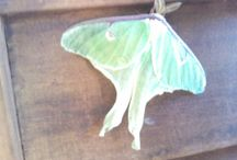 Maine Butterflies, Moths, Bees / Nature photos of butterflies, moths and bees that are found in Maine. Bee keeping information and more