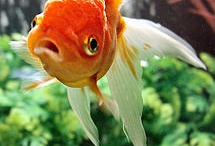 Goldfish love! / I have a thing for goldfish. They make me smile. Sadly, I can no longer own them because my fish tank is known as the tank of doom. So I'll just enjoy them here. / by Kat White