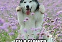 Cute Dog :: Siberian Huskey
