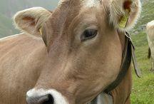 Gentle Cow ❤