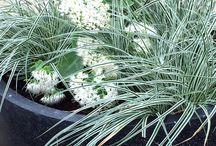 ideas for pots / ideas for pots, garden, bright, carex oshimensis everest, sedum spectacle stardust,