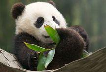 panda *-*