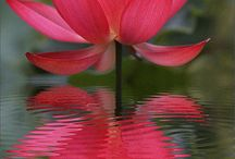 Lotus / Lotus are a perfect Aquatic plant to add beauty to your pond. It is one of the most unique of all the pond plants.  At Sunland Water Gardens we have everything for your pond. Pond supplies, Pond liners, Koi, waterlilies, pond plant and Lotus. we serve all locations in Southern California including Los Angeles, Canoga Park, Santa Monica, West Hollywood and Pasadena.