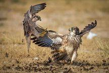Burung Falcon adalah Burung Tercepat di Dunia
