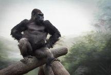 ANIMAL • Gorilla