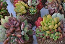 piante G R A S S E