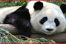 Facts About Pandas / All about pandas