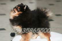 Satılık Pomeranian Boo Yavruları / Satılık Pomeranian Boo Dog Yavruları   http://pomeranian.yavruilani.com