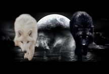 black wolf vs white wolf