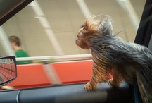 alice and other animals  / Alice .. a yorkie with opinions and other adorable animal pix :-) / by ex machina