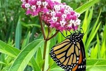 Plants to attract butterflies, fireflies, and dragonflies