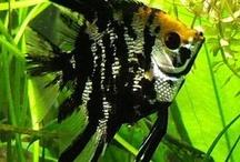 acaras and acaras disco / ornamental fishes