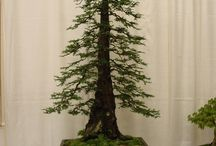 bonsai eduard