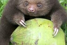 Sloooooooooooth cute baby sloth