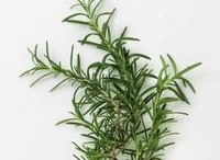 Cuttings / Rosemary