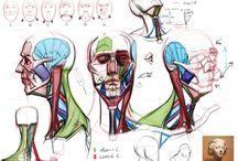 Anatomy and Structure / Anatomy