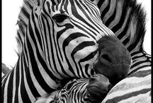 if you look for a zebra