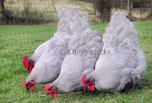 chickens,hens,slepice
