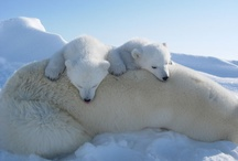 Polar Bears / How can you not adore these bears?  I want one! / by Linda Fedje