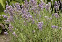 Lavenders hardy in Tri-Cities