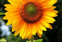 ~Sunny Sunflowers~
