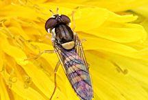 Zweefvlieg-Gliding fly-Syrphidae