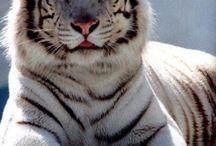 Tigers,Jaguar,Cheetah,Pamther / by Karina Radrizzani Finkelstein