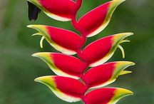 Heliconia / Tropical flowers