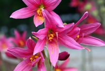 PDN 2015  Rhodophiala Flowers / Rhodophiala is a genus of bulbous amaryllis relatives from South America. While Chile has a large array of rhodophiala species, we have not found these to be growable in our East Coast climate. However, the Argentine R. bifida has been easy to grow so, we have chosen to focus on making Rhodophiala bifida selections and hybrids. Although not quite as large as a hybrid amaryllis, rhodophiala makes a colorful statement in the garden.