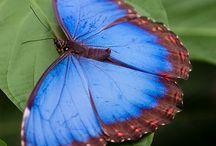 butterfly      farfalle