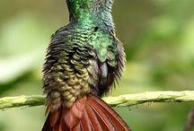 hummingbirds/kollibri