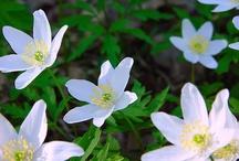 Kevät kukkia