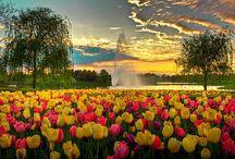 Tulpen mania / Ze zeggen dat de donkere binnenkant van een tulp het hart van een minnaar voorstelt, die verduistert door passie. Tulpen zijn een hevige concurrent van de roos, rode tulpen kunnen evenveel passie weerspiegelen, of brengen vreugde in de gele variant. Tulpen staan dan ook symbool voor bevalligheid en elegantie.