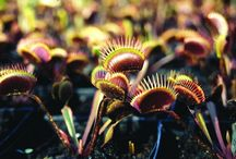 2016 PDN Dionaea muscipula / Looking to buy carnivorous plants? Dionaea muscipula or Venus fly trap is undoubtably one of the most exotic plant genera there is, fascinating us with its carnivourous nature and lightning-quick trap. Dionaea are American native plants, growing wild alongside sarracenia (pitcher plants) in low, sandy, nutrient-poor areas within a 90 mile radius of Wilmington, North Carolina.