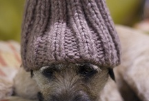 Ted The Border Terrier / Ted - A Border Terrier - Dog