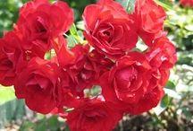 Уход за розами видео