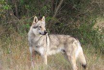 Camada A Wolfdog Land / Fotos de los cachorros de la Camada A entre Zoray y Utukku