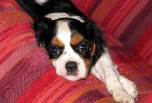 Cavalier King Charles Spaniel / Foto dal mondo di questi dolcissimi cani