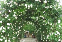 Climbing Roses for Nantucket