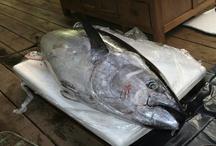 Ronqueo de un atún de 160 kg / En #BocaGrande #Barcelona se nos ocurrió ronquear un atún de 160 kg. Y este es el resultado