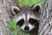 ..Racoon Lover Eye Candy.. / by PetsLady