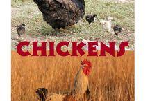 Homeschool ~ Chickens