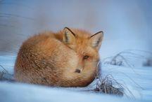 líška je časť mojej duše