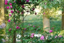 Roses / Róże