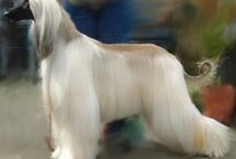 Afghan hounds / by Sharon Bitner