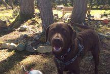 My dog / Rex. My Chesapeake Bay Retriever.