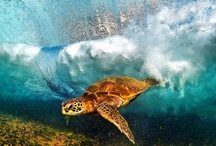 Sea Turtles and Ocean Life / by Nancy Hirlemann