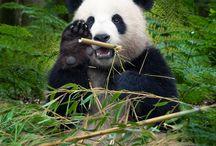 Just Pandas / Pandas being pandas