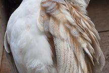 Owl  bird feather